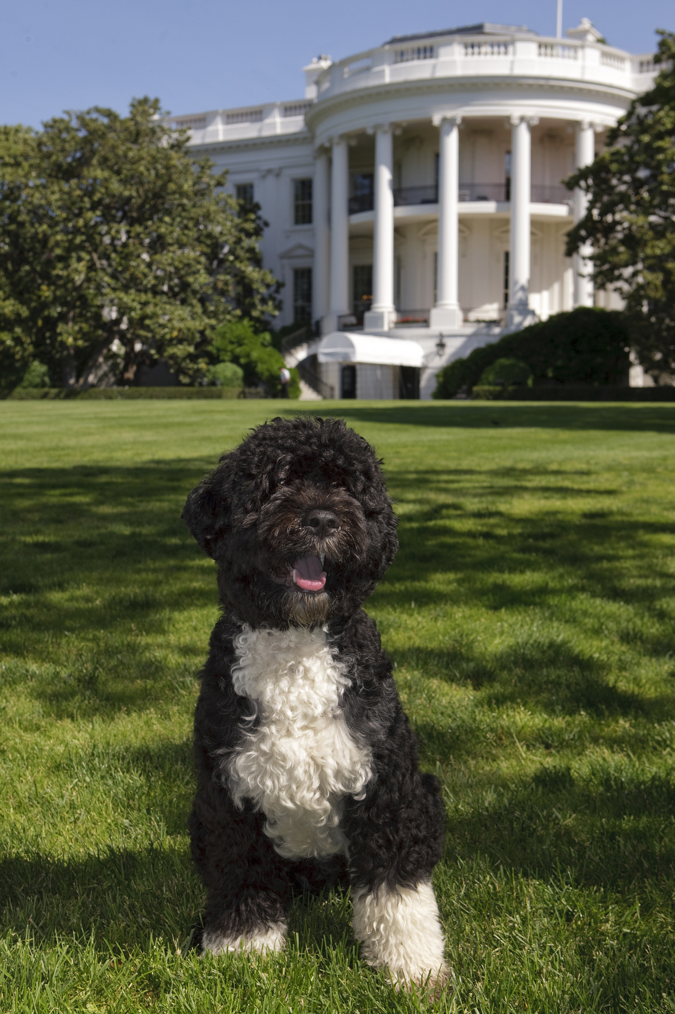 "The official portrait of the Obama family dog ""Bo"", a Portuguese water dog, on the South Lawn of the White House. (Official White House Photo by Chuck Kennedy) This official White House photograph is being made available for publication by news organizations and/or for personal use printing by the subject(s) of the photograph. The photograph may not be manipulated in any way or used in materials, advertisements, products, or promotions that in any way suggest approval or endorsement of the President, the First Family, or the White House."